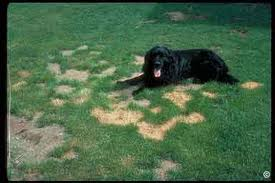 Alberta grass and turf seeding residential commercial for How to fix dog urine spots on lawn